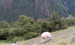mountainscape with a goat grazing on the green hillside